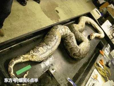 人有可能把自己餓死嗎 男子飼養蟒蛇幾天不吃飯