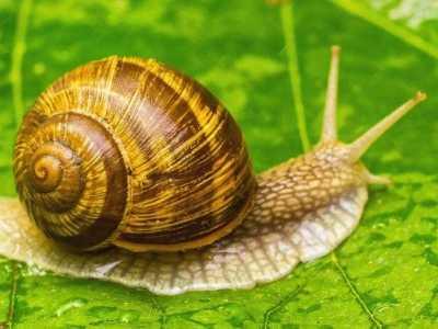 白玉蜗牛能长多大 蜗牛有多少颗牙齿