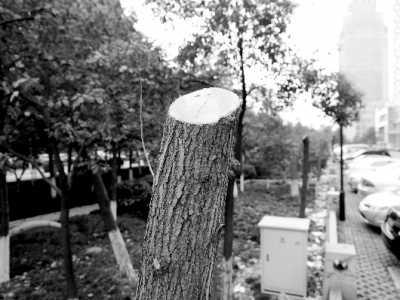 杭州杨树 百多棵白杨齐遭砍头