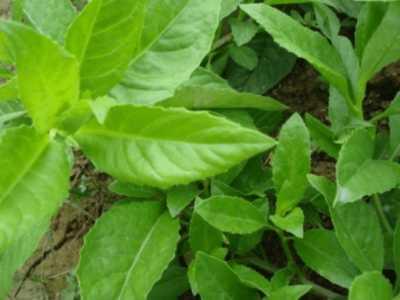 植物怎么種植 一分鐘帶你了解明日葉的種植方法